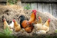 poultry farm meat dist - 1