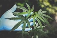 cannabis farm - 1