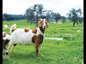 42-acre working goat dairy
